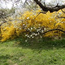 花ももの縁の方へ行くと黄色のレンギョウが咲いていました。