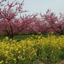 菜の花の黄色と花もものピンクが鮮やかでした。