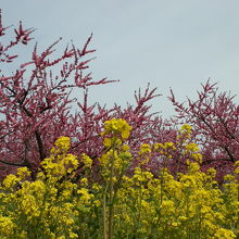 入口の右側に菜の花畑、その奥に花ももの木々が見えます。