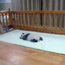 先月世界最小で生まれた赤ちゃんパンダ!!可愛すぎです