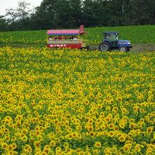ひまわり畑をはしる耕運機