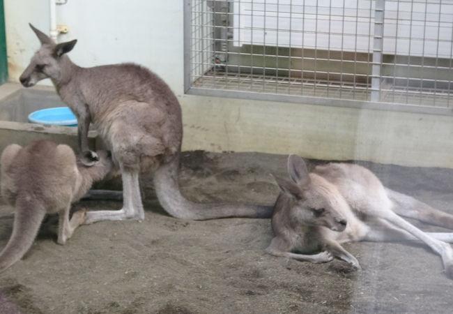 円山動物園 カンガルー館