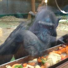トマトばかりたべるチンパンジー