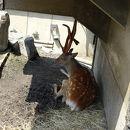 旭川市旭山動物園 エゾシカの森