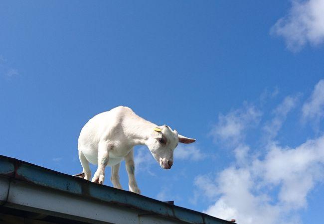 屋根の上にヤギが!