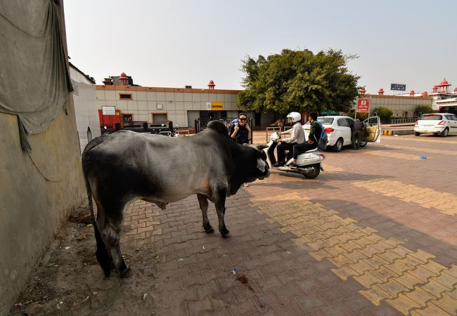 野良牛もいます!インド国鉄に定時制を求めるは禁物(笑)