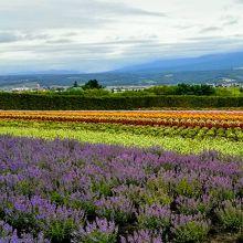 手前の紫色の花はラベンダーではなくアンゲロニア
