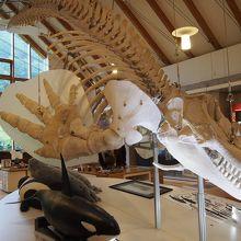 シャチの骨格標本には圧倒されます。