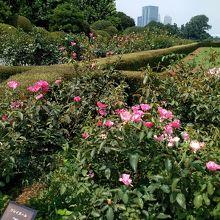 沢山の花が咲いていたバラ園