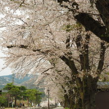 参道の桜並木