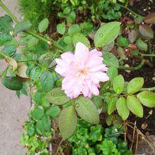 いまは、すこーし咲いてました
