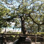 大きく立派な松の木です