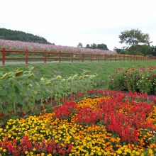 入口付近には向日葵など他の花も植えられてます。
