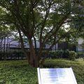 写真:童謡「ちいさい秋みつけた」とはぜの木