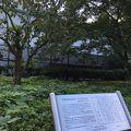写真:幸田文ゆかりの「ハンカチの木」