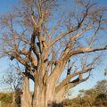 写真:バオバブの木