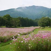 コスモス園と黒姫山