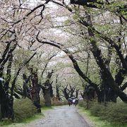 残念ながら葉桜状態