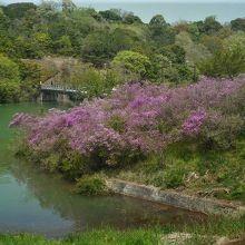 江汐湖橋の近くにミツバツツジの群生があります。
