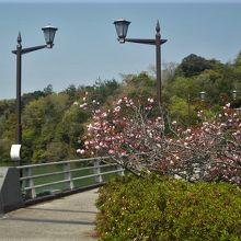 江汐大橋の手前にも八重桜が咲いています。