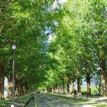グリーンの季節も素敵! どこまでも続くメタセコイア並木道♪