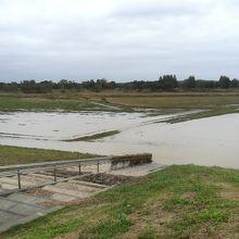 水が引きつつあるコスモス畑