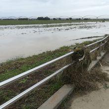 堤防からコスモス畑へと降りる遊歩道 流されてきた草が絡みつく