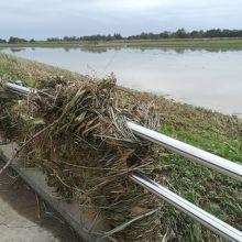 堤防からコスモス畑と降りる遊歩道 川に見えるのはコスモス畑