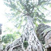 ガジュマルの木を独り占め