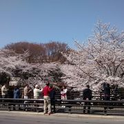 満開のソメイヨシノの花は、まるで爆発するかのような感じで、迫力があってきれい