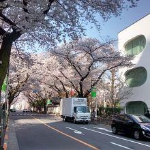 武蔵野プレイスの南側の通りに植えられたソメイヨシノが最高にきれい