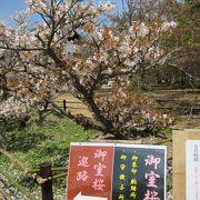 八重桜が見事。