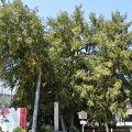 写真:名古屋城の榧の木