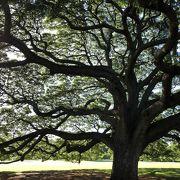 日立の樹 【モアナルアガーデン】