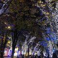 写真:グランモール公園 いちょう通り