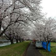 桜と菜の花が楽しめる