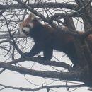 旭川市旭山動物園 レッサーパンダの吊り橋