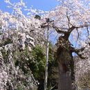延寿院 しだれ桜