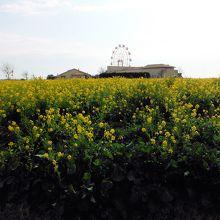 長井海の手公園ソレイユの丘(菜の花)