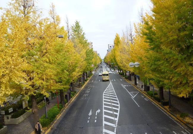 甲州街道 いちょう並木