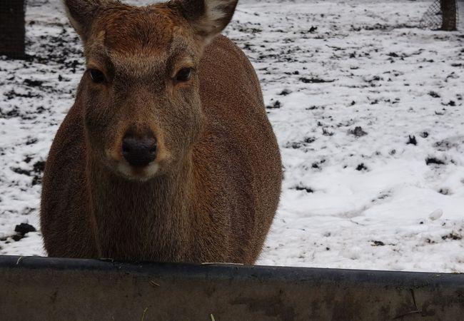 円山動物園 エゾシカ オオカミ舎