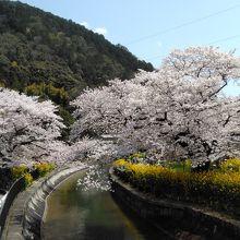 桜と菜の花がとても素晴らしい山科疎水沿い