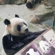 パンダ見放題!