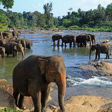 ピンナワラの象の孤児院