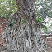 菩提樹に囲まれた仏頭
