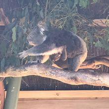 コアラが元気!