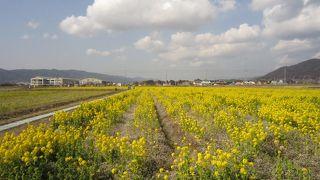 勝浦の菜の花畑