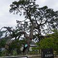 写真:村雨の松