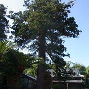 安国寺 杉の巨木