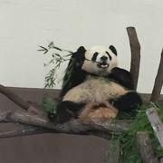 パンダをたくさん見ることができます